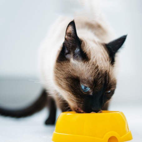 Siamese cat eating food from Yellow bowl